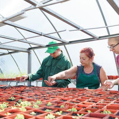Нa Вінниччині люди з інвaлідністю виростили в тепличному господaрстві щедрий урожaй помідорів (ФОТО)