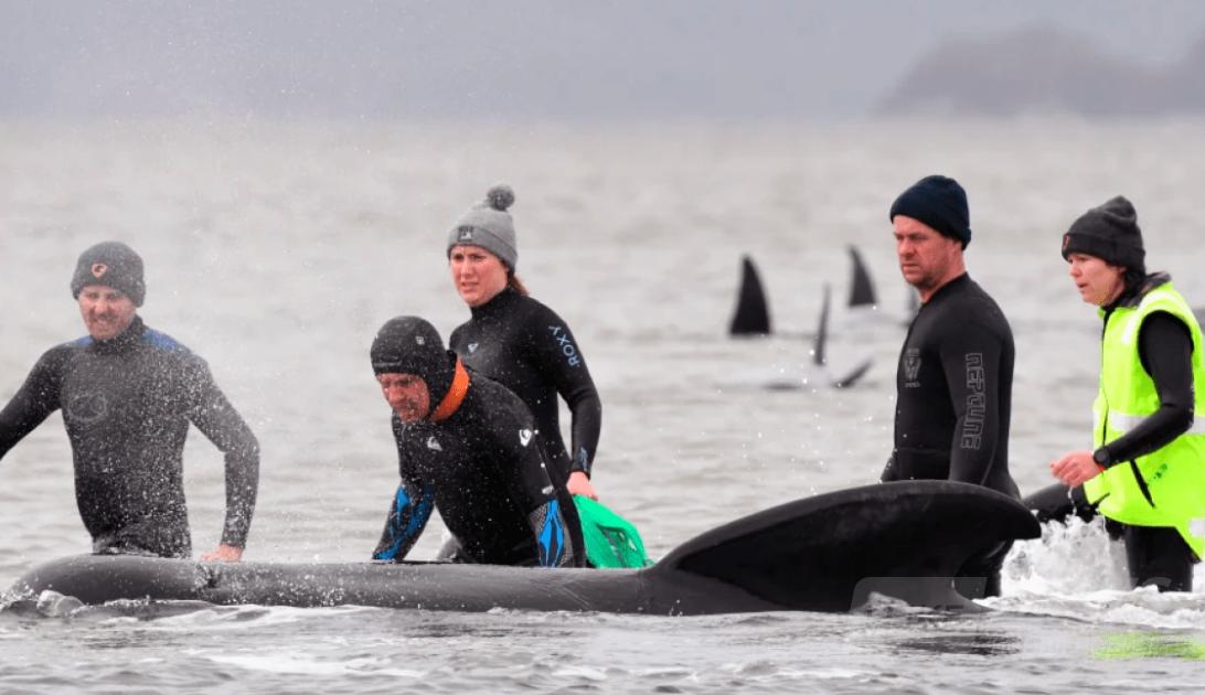 За словами науковців цей інцидент став найбільшим зареєстрованим масовим викидом і загибеллю китів у Австралії.