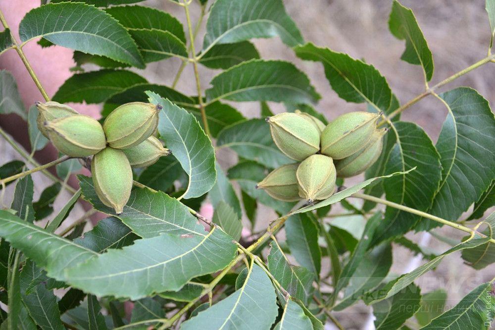 Незрелые плоды карии