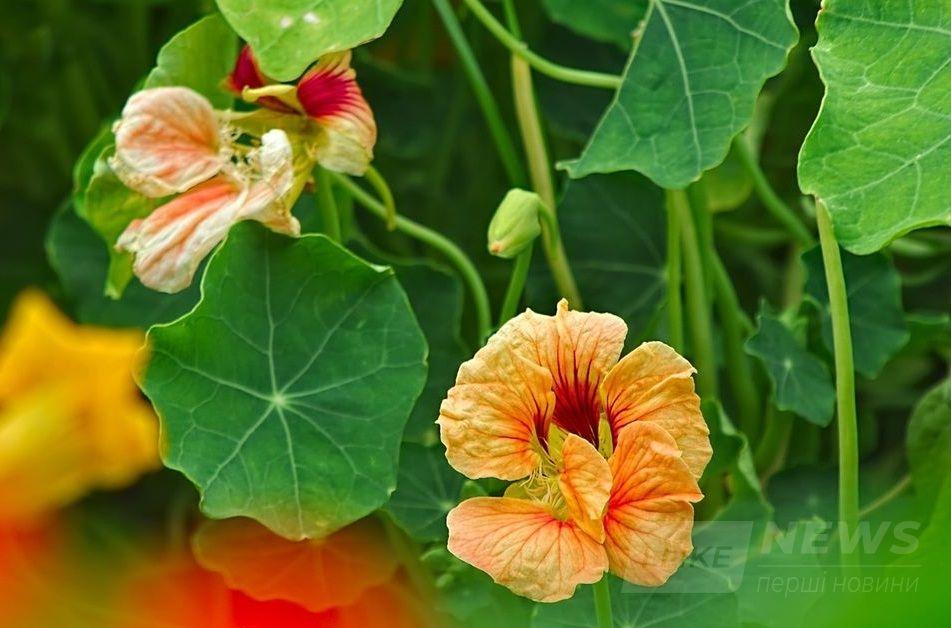 Страви із квітів… Нa Вінниччині Фермер вирощує їстівні квіти