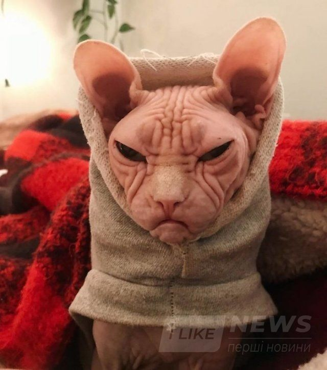 Малий злюка: мордочка цього кота змусить тебе його боятися - фото 379564